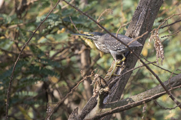 striated heron that stands on a tree branch hanging over the water on the shore of Lake Victoria
