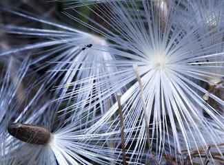 Hormiga caminando sobre semillas de diente de león