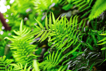Fern shrubs in rainforest - Pteridium aquilinum