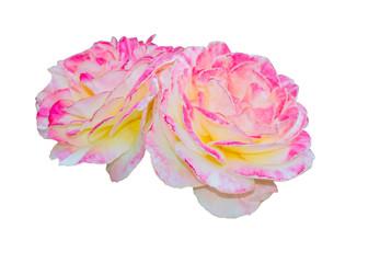 the big beautiful rose on white