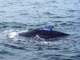 Dorsal Fin of a Humpback Whale in Stellwagen Bank National Marine Sanctuary, Cape Cod Bay