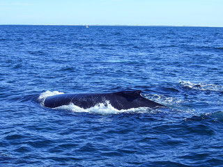 Humpback Whale in Stellwagen Bank National Marine Sanctuary Cape Cod Bay