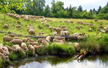 Sheep flock at watering place - Schafherde an der Tränke