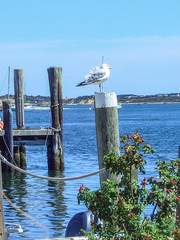 Seagull in Edgartown Harbor