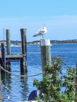 Seagull in Edgartown Harbor