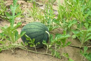 Watermelon in field.
