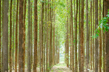 Eucalyptus forest  for paper industry
