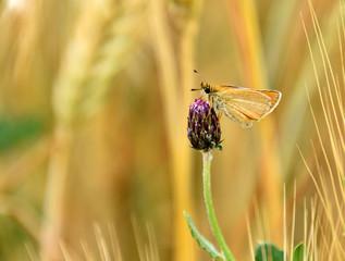 Rhopalocera Butterfly on creeping thistle bulb , Cirsium arvense