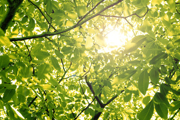 Sun through nut foliage in the summer