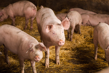Close up portraits of pigs in a pigsty on a farm