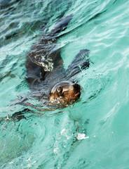 Galapagos Sea Lion Swimming - 0140