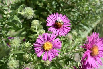 Biene auf einer gelben Bluete mit violetten Bluetenblaettern, Bee on a yellow flower with violet blossom leaves