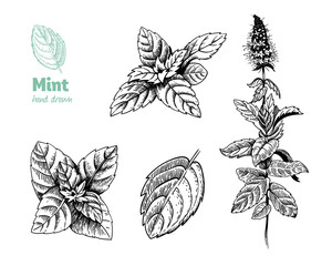 Peppermint plant, leaves and flowers vector hand drawn illustration