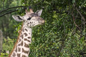 Portrait of a giraffe head on a savanna in Masai Mara