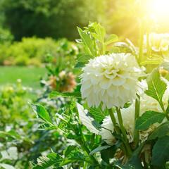 Fototapete - white dahlia flower at dawn.