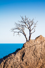Lonely old tree pine on a mountain on the rocks on sea background.