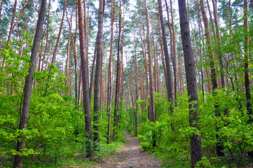 Pine forest, a walk in the woods