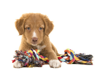 Cute nova scotia duck tolling retriever puppy seen from the front facing the camera lying on the floor holding a multicolored woven rope dog toy