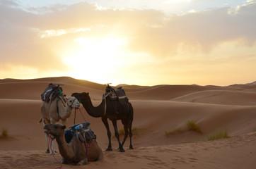 Dromedaries Resting in the sunrise of Sahara Great Desert in High Atlas Mountains, Morocco