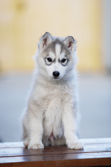 A cheerful gray husky