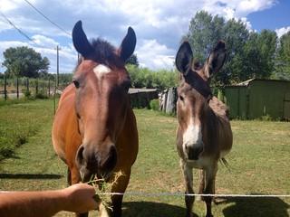 cavallo e asino in una fattoria, in Toscana.