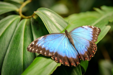Blue butterfly with open wings on green leaf