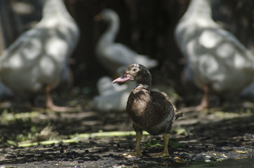 Duck on the background of geese,  look is directed to the camera