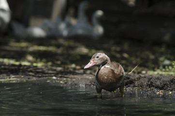 Duck near the water,  look is directed to the camera