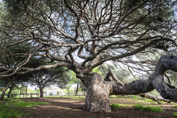 Centenary pine