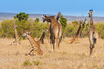 Giraffe. A herd of giraffes lying on the grass. Kenya. Africa.