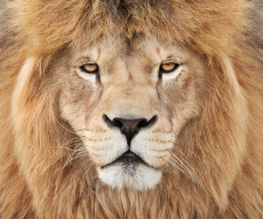 Fototapete - Strong lion