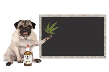 smiling pug puppy dog with bottle of CBD oil and hemp leaf, with blank blackboard sign, isolated on white background