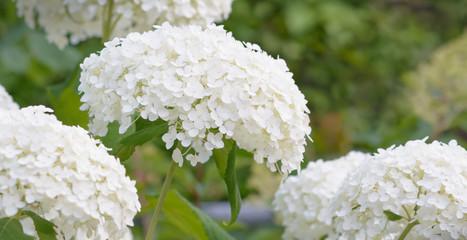 Zelfklevend Fotobehang Hydrangea Inflorescence of a white hydrangea