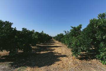 Naval orange grove in California