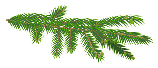 Green branch of fir tree isolated on white background