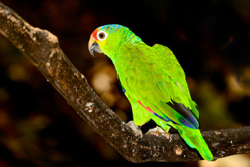Red-lored amazon or red-lored parrot (Amazona autumnalis)