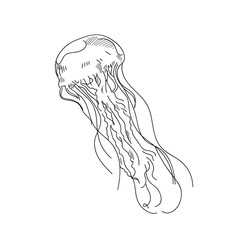 Sea jellyfish hand drawn sketch  illustrations of engraved line