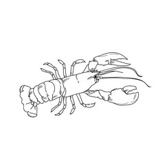 Sea lobster hand drawn sketch  illustrations of engraved line