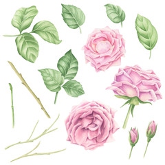 Hand-drawn watercolor pastel pink rose blossoms set with green leaves and branches, floral botanical illustration isolated on white background.