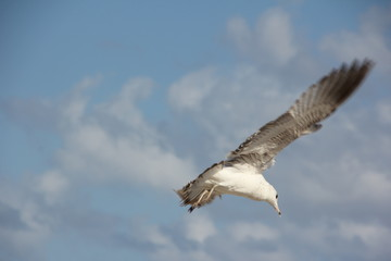 Ring-Billed Gull (Larus delawarensis) flying in the sky / South Beach, Miami, Florida, USA