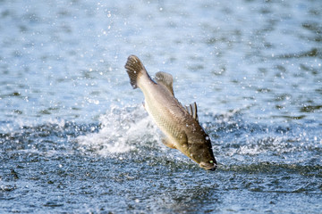 fighting action of barramundi ( silver perch, white perch) jumps into the air when it is hooked by a fisherman fishing ,Barramundi fishing.