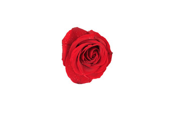 red rose flower isolated on white background and have clipping paths for design in your work