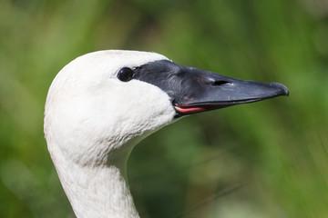 Closeup of a trumpeter swan (cygnet)