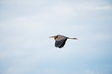 Flying Purple heron in wetlands Thale Noi, one of the country's largest wetlands covering Phatthalung, Nakhon Si Thammarat and Songkhla ,South of THAILAND.