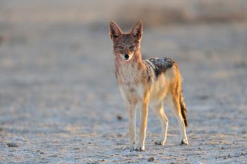 Schabrakenschakal in der Etosha Salz Pfanne, Etosha Nationalpark, Namibia