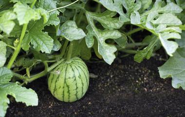 Watermelon growing in field