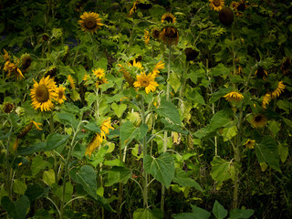 Wilted sunflowers in summer, environmental issues