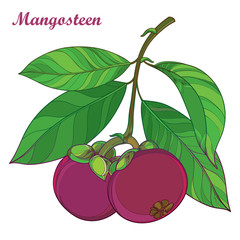 Vector branch with outline Purple Mangosteen or Garcinia mangosteen fruit and leaf isolated on white background. Exotic tropical fruit in contour style for summer design or fresh food menu.