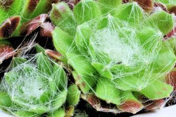 """Succulent plant """"Sempervivum"""" close up."""