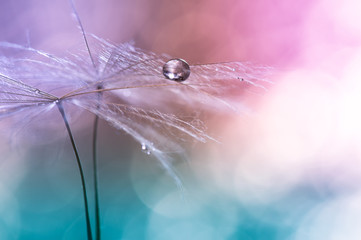 Water drop on a dandelion , colorful background with bokeh. beautiful abstract macro. Selective focus